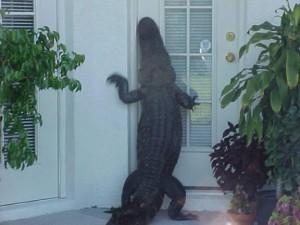 Alligator-704296